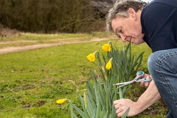 Senior man cutting daffodils