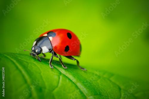 Leinwanddruck Bild Ladybug and Leaf