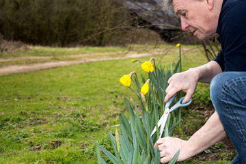 Senior man cutting daffodils