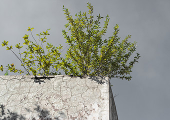 Lonely green bush on the concrete wall