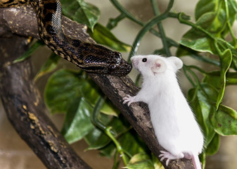 Python snake meeting mouse lunch on branch