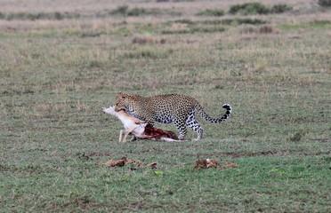 leopard hunting, Tanzania