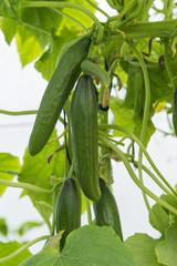 Fresh Green Cucumber Tree