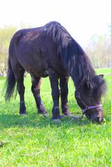 Brown pony grazing