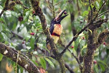 Collared Aracari eating