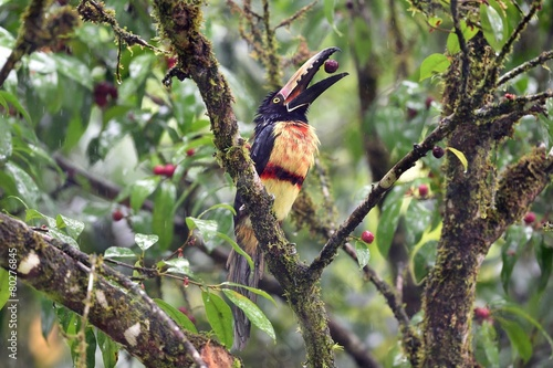 In de dag Toekan Collared Aracari eating