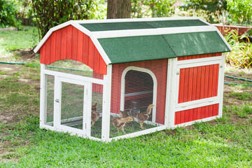 Baby Chicks in a Chicken Coop