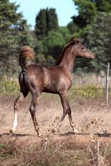 Young arabian foal