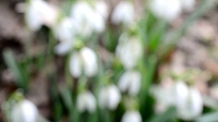 Close-up of several blooming snowdrop flowers blown by wind