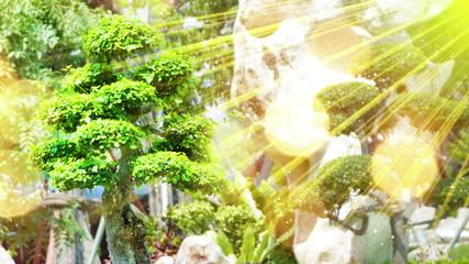 bonsai tree in garden and sunrays seamless loop 4k (4096x2304)