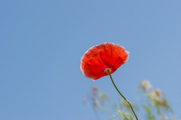 Lonely red poppy against blue sky