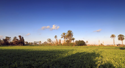 Beautiful  palm trees on field - Egypt