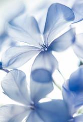 Blue Periwinkles