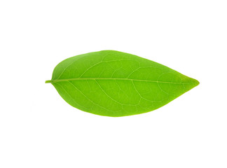 plant leaf (star gooseberry leaf) isolated on a white background