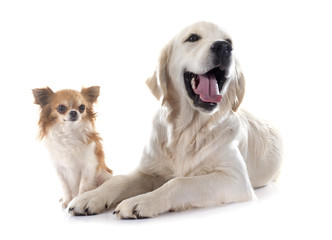 young golden retriever and chihuahua