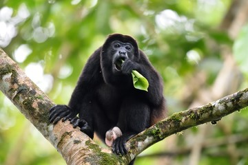 Male of howler monkey eating
