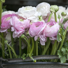 White ranunculus (persian buttercup)