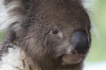 Koala Bear- South Australia