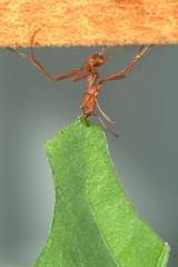 Leaf-cutter ant carrying leaf