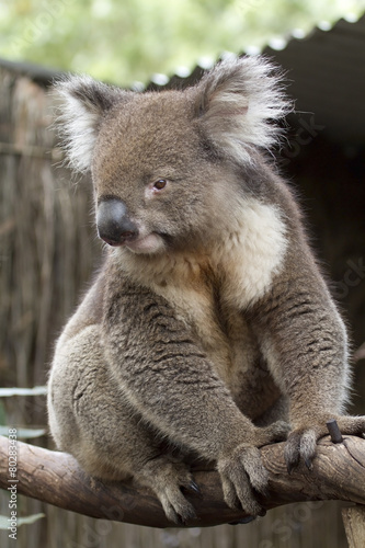 Fotobehang Koala Koala Bear- South Australia