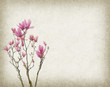 Pink magnolia flowers on old paper background