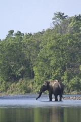 Wild asian elephant in Bardia, Nepal