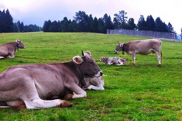 herd of cows resting