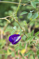 A purple pea flower in my garden.