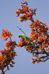 Rose-ringed parakeet in flame of the forest tree