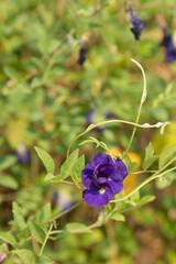 A purple pea flower in my garden.