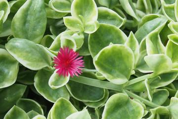 succulent plants pink flower