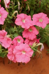 Pink petunias flowers at the nature