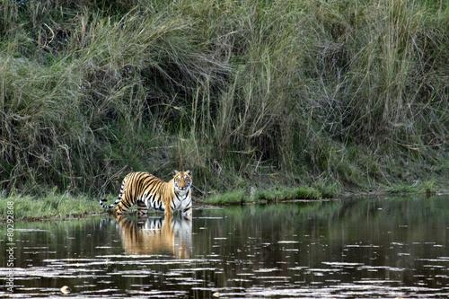 Deurstickers Tijger Bengal tiger in Bardia, Nepal