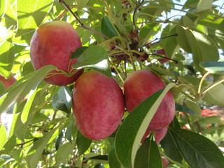ムベの果実