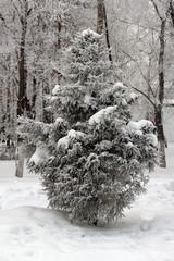 winter snow spruce in snow Siberia