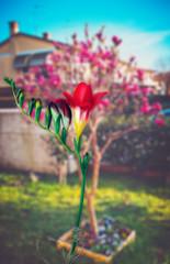 Spring garden series - freesia