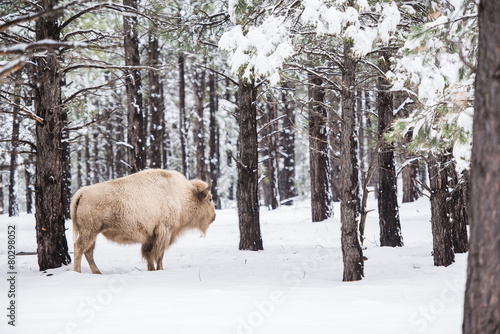 Poster Bison White Buffalo in Forest