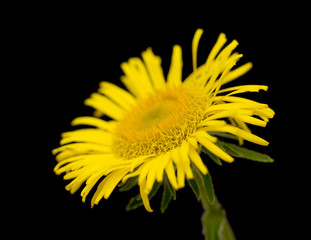 Yellow daisy looking like sunflower