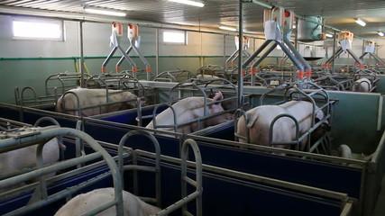 Farm for pig breeding