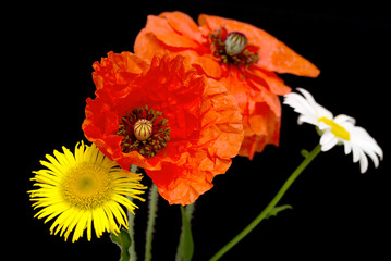 flower red field poppy, daisy