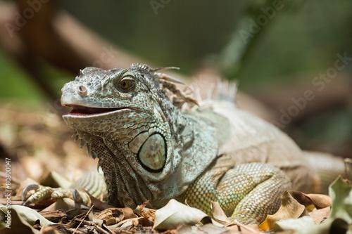 Keuken foto achterwand Kameleon Green iguana