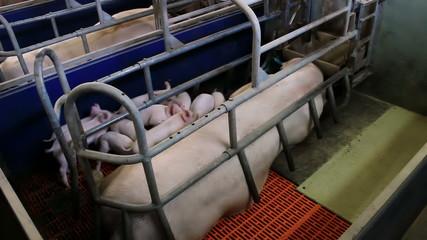 Piglets at a pig farm