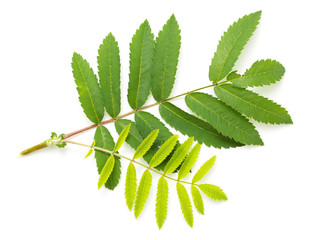 Green leaves of a mountain ash on a white background