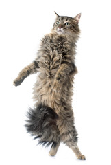 tabby cat upright