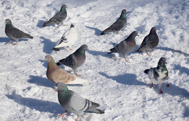 wild pigeons on snow in winter