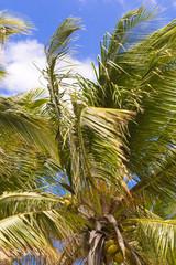 cime de cocotier