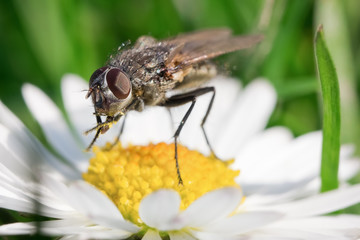 Macro photo from small fly on a flower