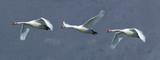 Flock of three mute swans in flight