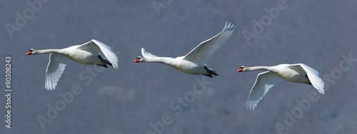 Papiers peints Cygne Flock of three mute swans in flight