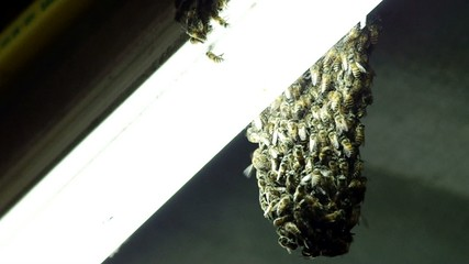 footage of bee grouping at the fluorescence bulb